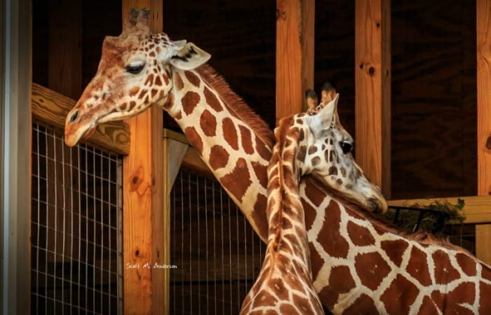 Why Oliver And April The Giraffe Are #RelationshipGoals