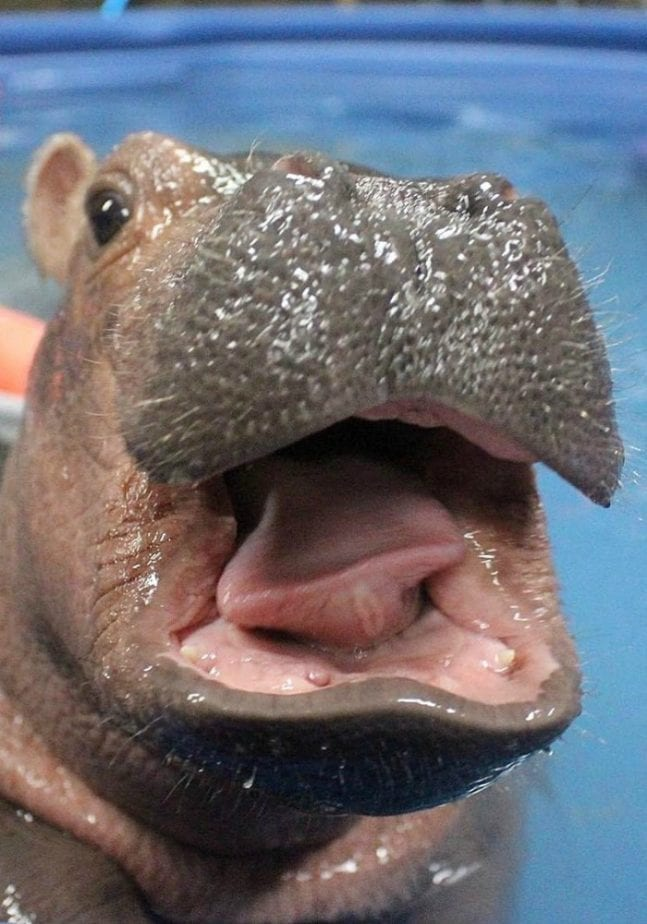 This Premature Baby Hippo Is All I Care About This Summer