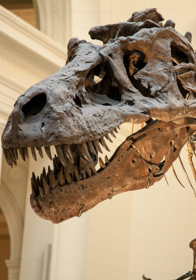do you believe that dinosaurs were real? this t-rex skeleton certainly proves they were!