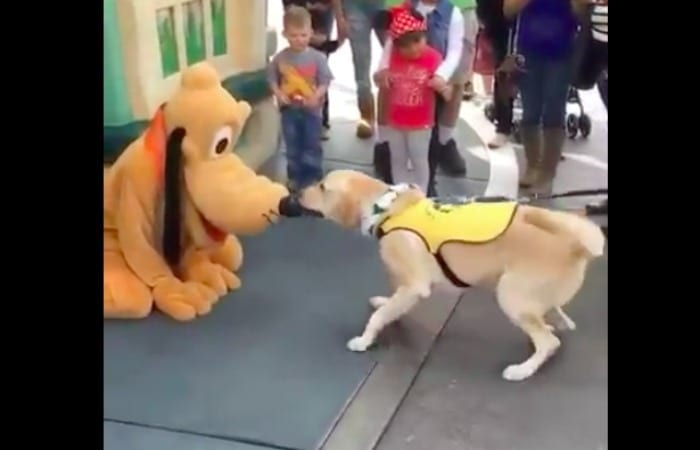 This Service Dog Absolutely Lost It When He Met Pluto At Disney!