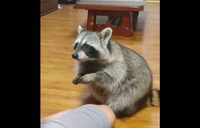 This Talented Raccoon Does Tricks Just Like A Dog!