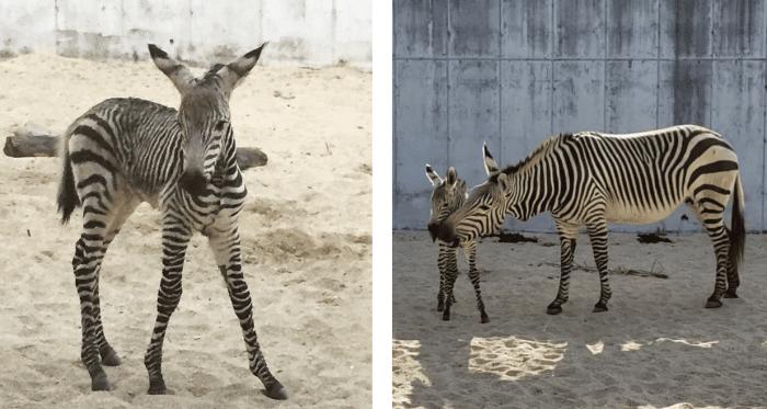 Disney S Animal Kingdom Has Welcomed New Animal Babies And